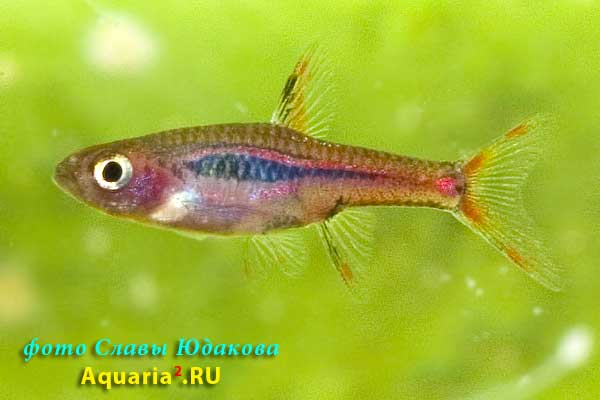 Boraras urophthalmoides   (Kottelat, 1991). Расбора светлячок