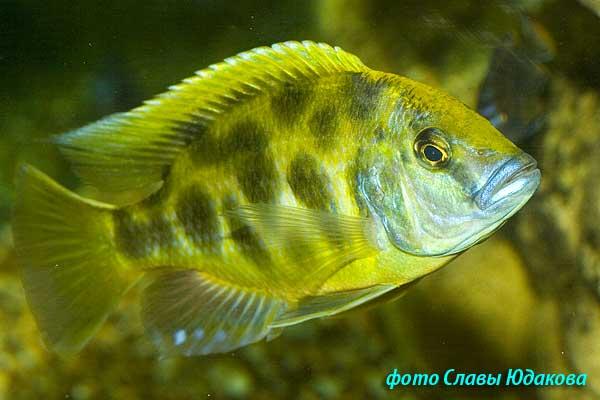 Nimbochromis venustus, золотой леопард, активный самец