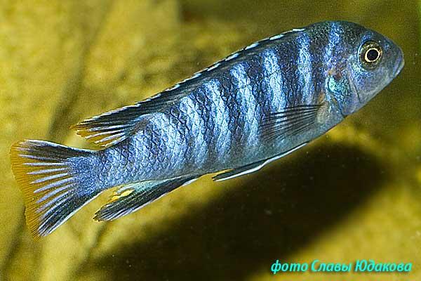 Pseudotropheus elongatus, самец