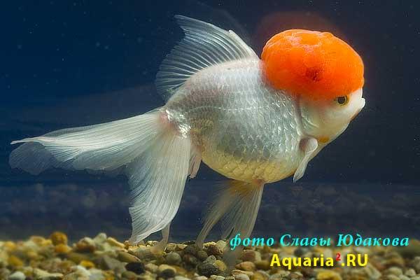 золотая рыбка аквариумная.