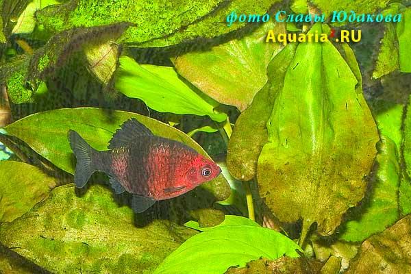 Puntius nigrofasciatus, черный барбус, самец