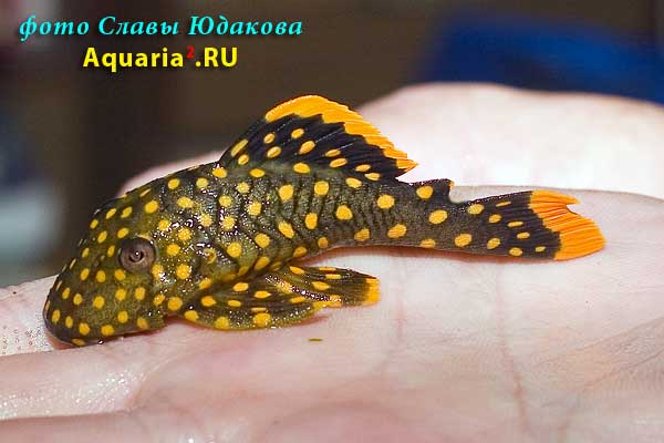 Baryancistrus sp.Iriri/Yellow L177