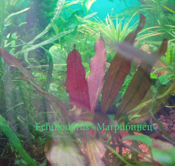 эхинодорус магрибинец