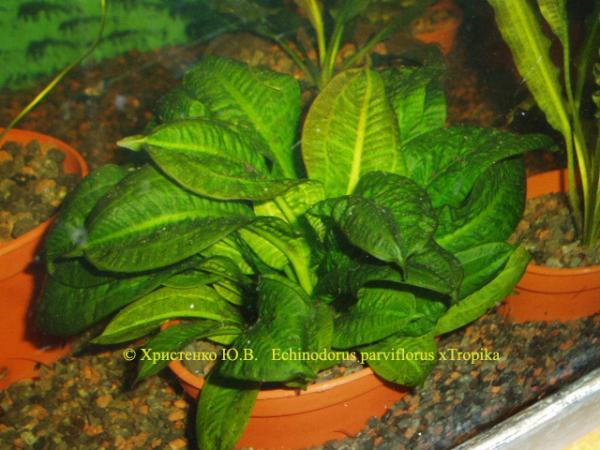 Echinodorus_parviflorus_xTropika