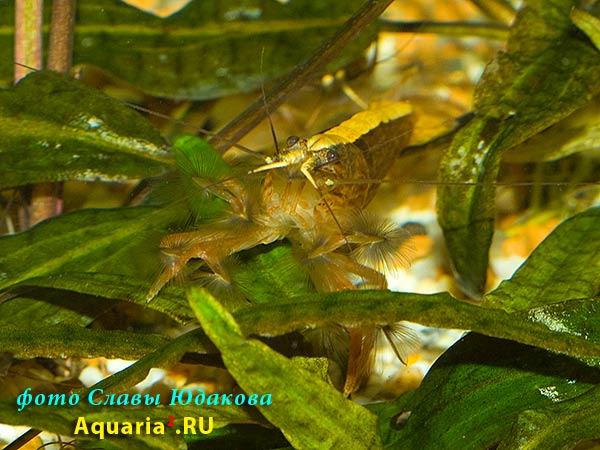 креветка-фильтратор Atyopsis moluccensis