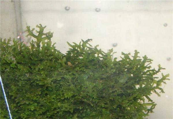 Riccardia_chamedryfolia_.
