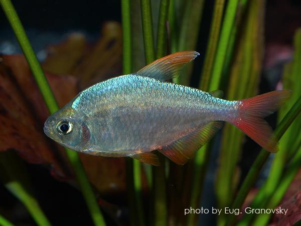 Сапфировая тетра (Hyphessobrycon ecuadoriensis)