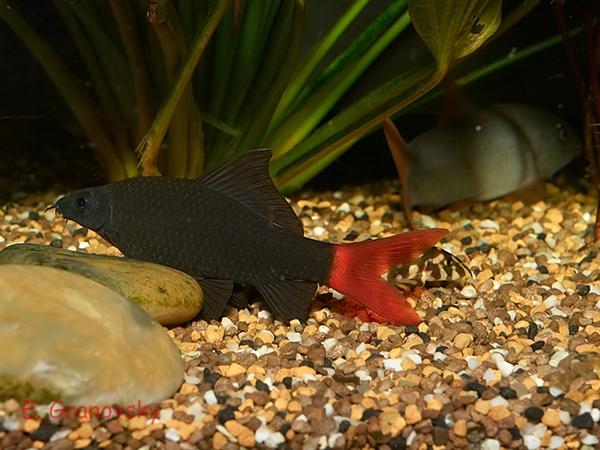 Лабео двухцветный (Epalzeorhynchus bicolor)