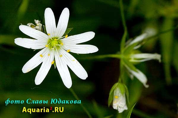 Звездчатка злаковая, Stellaria graminea