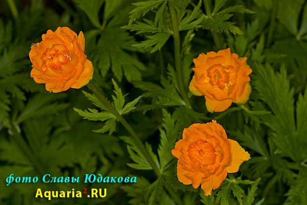 Фигня садовая, Trollius sp.