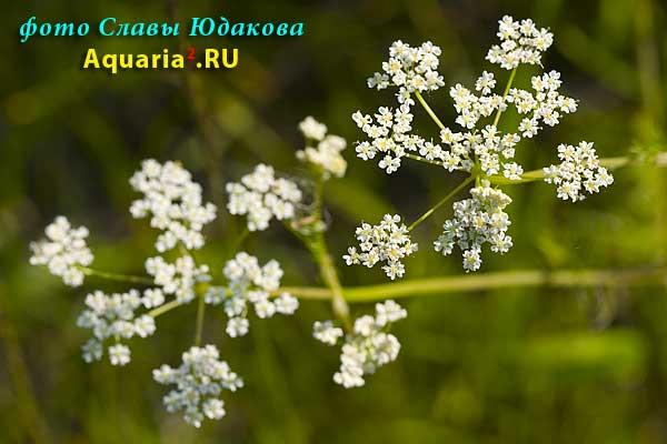 сныть обыкновенная, Aegopodium podagraria