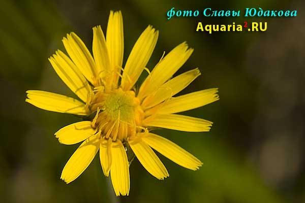 ястребиночка волосистая, Hieracicum pilosella