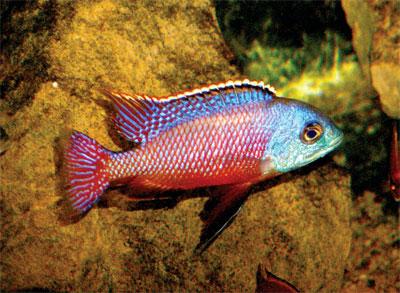 Самец Protomelas taeniolatus