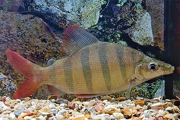 Cyprinidae: Distichodus Lussoso