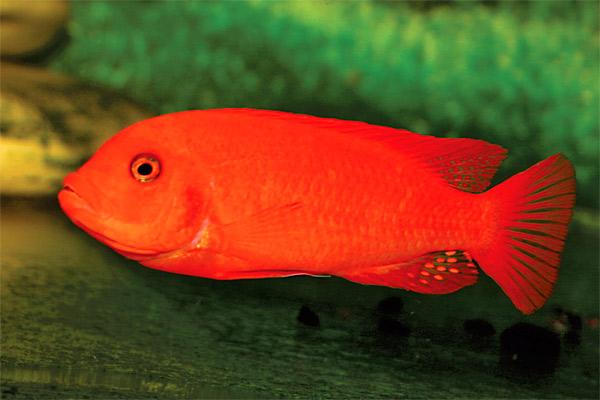ярко синяя аквариумная рыбка.