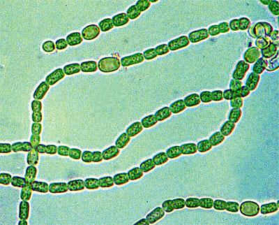 сине-зелёные водоросли фото