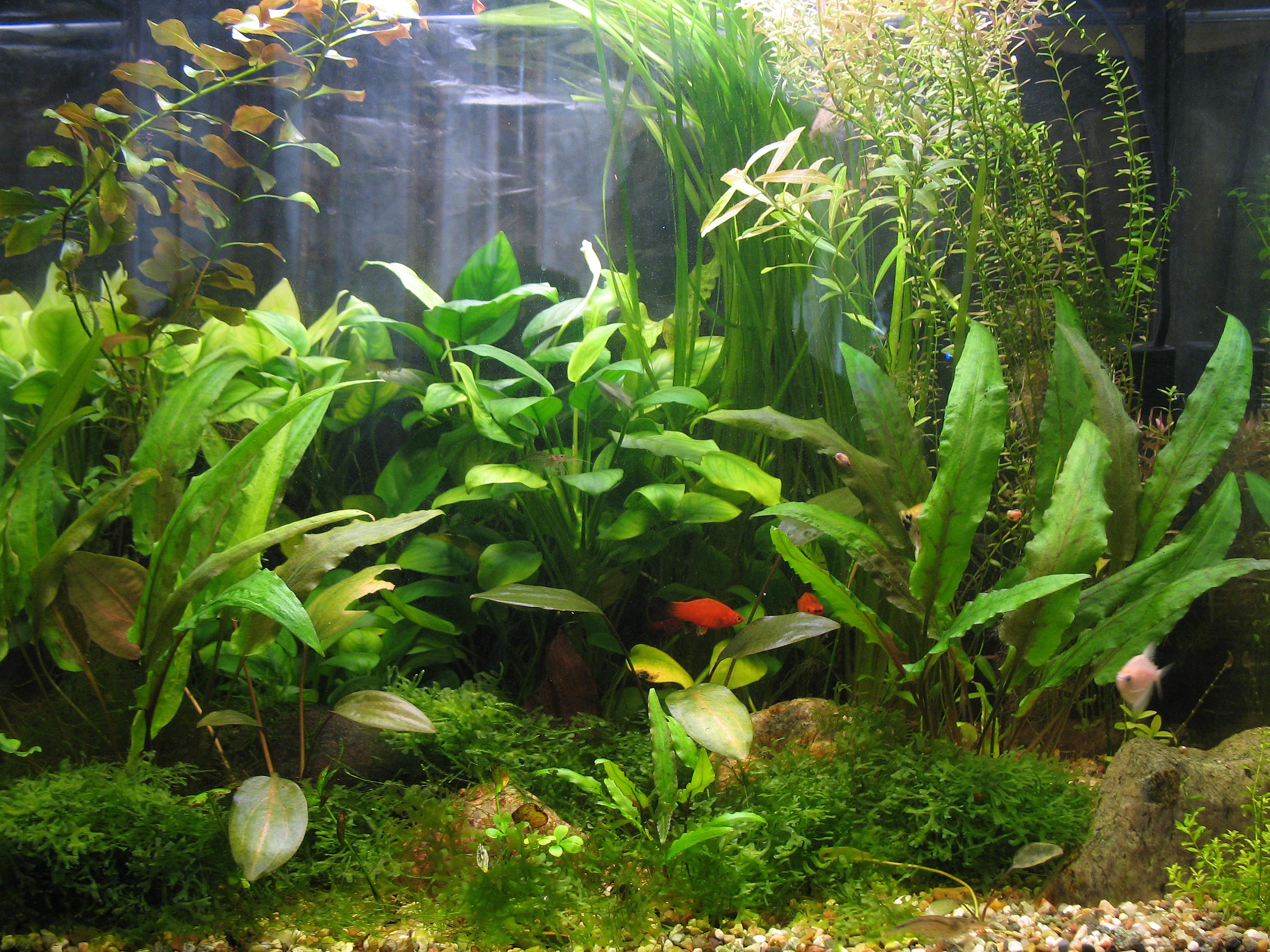 Какие растения можно посадить в аквариум - описание с фото 51