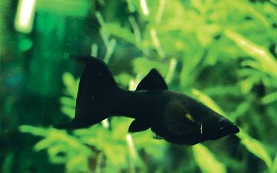 Живородящие рыбки для аквариума