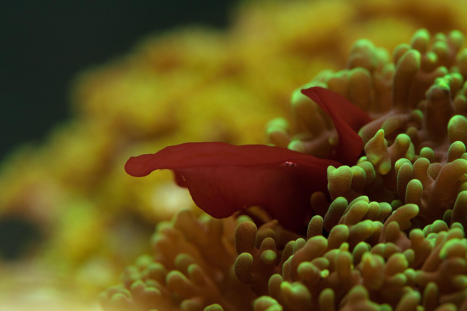 Красный лопух самостоятельного произрастания в зеленом родактисе