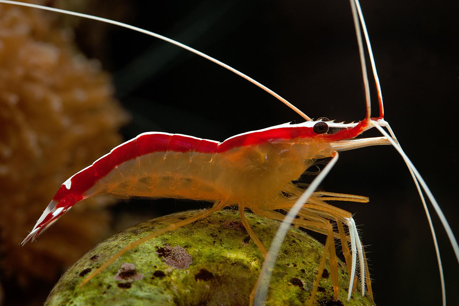 Креветка-доктор лисмата тихоокеанская