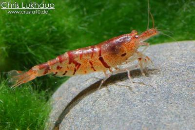 Tigershrimp2