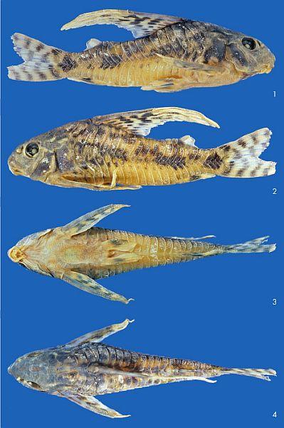 Corydoras longipinnis sp. n.