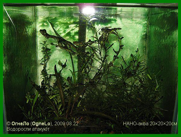 Засилье водорослей в аквариуме