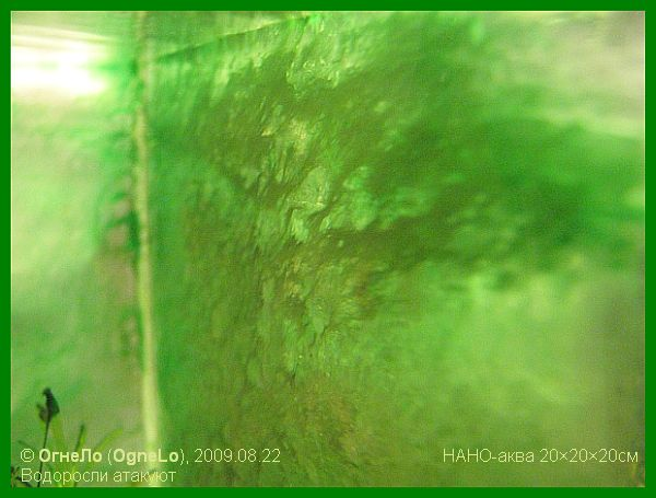 зарастание стенки аквариума водорослями