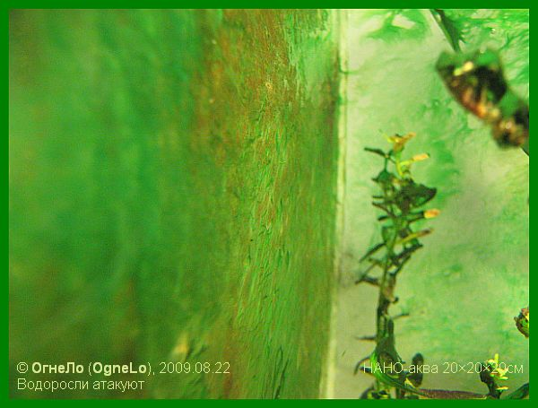 зарастание стенок аквариума водорослями