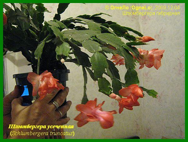 Шлюмбергера усеченная (Schlumbergera truncata)