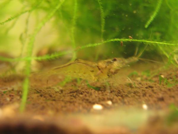«Мандаринки» Caridina propinqua, самец
