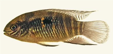 Laetacara fulvipinnis sp. n.