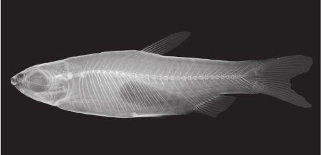 Nannostomus rubrocaudatus