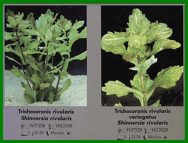 Trichocoronis rivularis, син. Shinnersia_rivularis или Мексиканский дубок