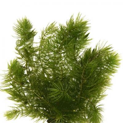 ceratophyllum-demersum