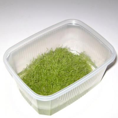invitro-utricularia-gramminifolia