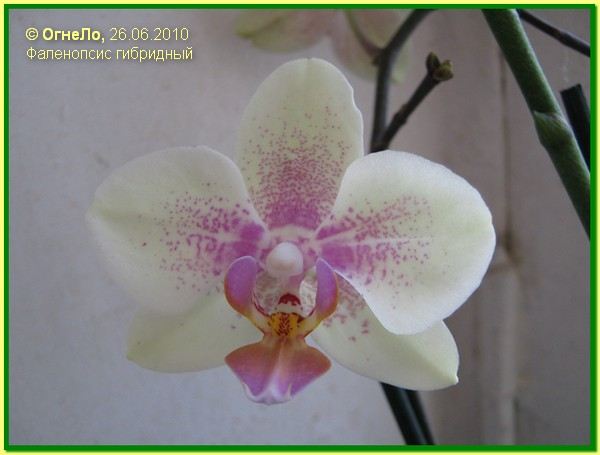 Фаленопсис гибридный