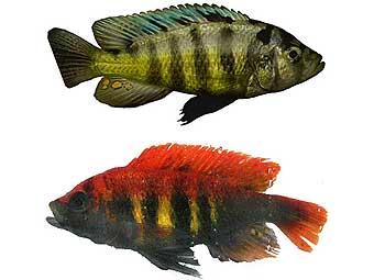 Самец Pundamilia pundamilia (сверху) и самец Pundamilia nyererei (внизу). Фото авторов исследования