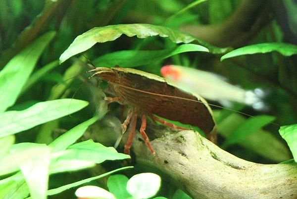 Креветка, Фильтратор, Красная, Atyopsis moluccensis