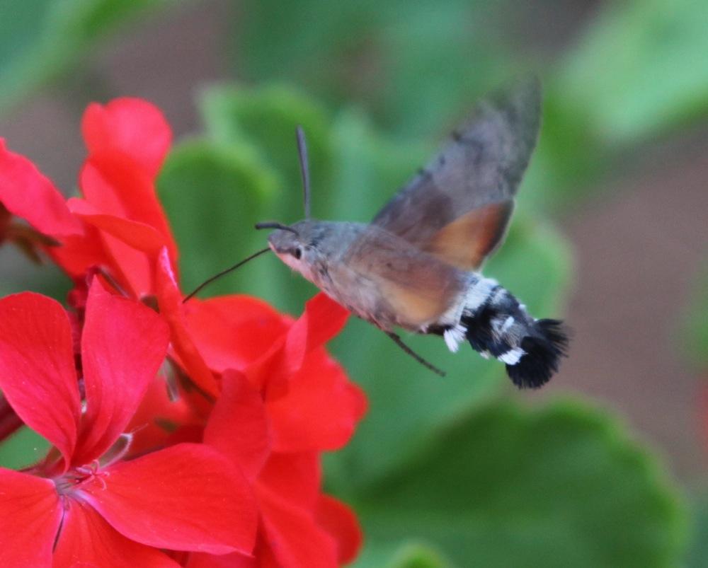 Бабочка, очень напоминающая Колибри по поведению