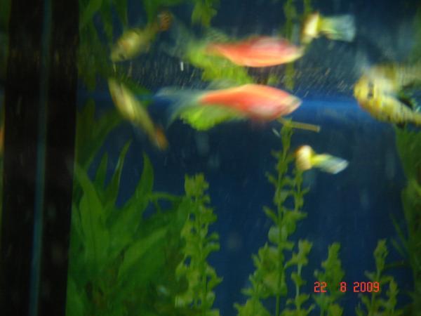 Беременная рыбка данио фото 90