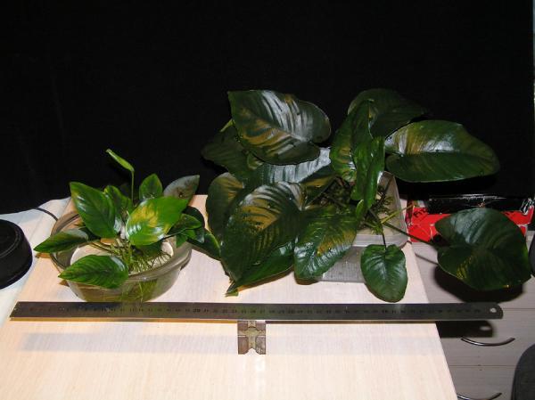 An. nana и An. 'Broad Leaf'