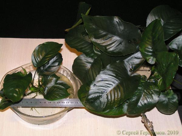 Anubias 'Broad Leaf'