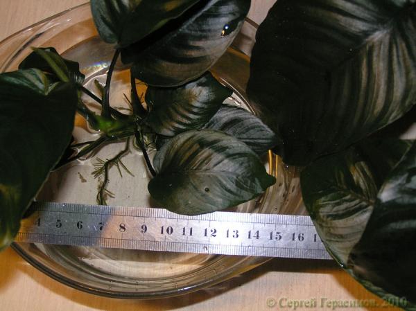 Листя An. 'Broad Leaf'